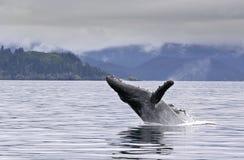 Violazione della balena nel mare d'Alasca Immagini Stock Libere da Diritti