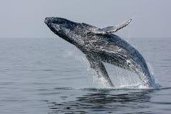 Violazione della balena posteriore della gobba Fotografie Stock