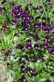 viole Immagini Stock