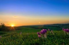 Viole alla luce di tramonto Fotografia Stock Libera da Diritti