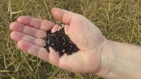 Viole as sementes oleaginosas do napus do Brassica do óleo de colza à disposição, resíduos amadurecem vagens da semente filme
