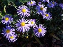 Viole dei fiori sulle vie immagine stock