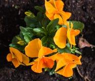 Viole del pensiero arancio nel giardino Fotografie Stock Libere da Diritti