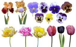 Viole del pensiero delle iridi dei tulipani Fotografia Stock Libera da Diritti