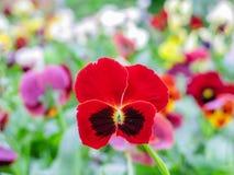 Viole del pensiero gialle blu rosse tricolori della viola sul primo piano verde di macro dell'aiola immagine stock