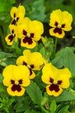 Viole del pensiero gialle del fiore Immagini Stock Libere da Diritti