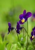 Viole del pensiero in primavera Fotografia Stock