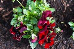 Viole del pensiero rosse nel giardino Fotografie Stock Libere da Diritti