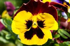 Viole del pensiero variopinte del fiore - macro 2 Immagini Stock Libere da Diritti