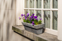 Viole di fioritura porpora che crescono in una piantatrice di pietra su una finestra s Immagini Stock Libere da Diritti