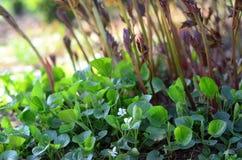 Viole dolci e germogli bianchi della peonia Fotografia Stock