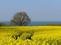Viole el campo en la costa de mar Báltico en primavera Fotos de archivo