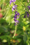 Viole a flor da cor em um jardim Fotografia de Stock