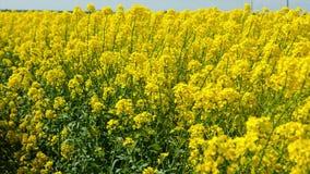 Viole o campo, colheitas do canola no céu azul video estoque