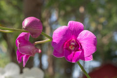 Viole orchid under the sun light Royalty Free Stock Image