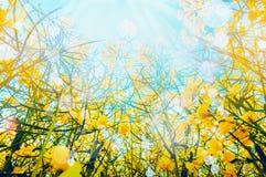 Viole a planta com as flores amarelas sobre o fundo do sol e do céu, vista da parte inferior Imagem de Stock Royalty Free