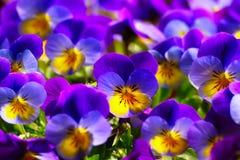Viole in primavera Immagine Stock