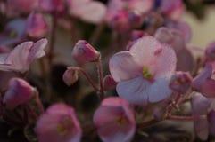 Viole rosa ad una tavola Fotografia Stock Libera da Diritti