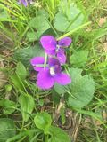 Viole selvatiche in fioritura durante il tempo di molla Fotografie Stock