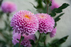 Violent chrysanthemums flower Royalty Free Stock Images