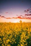 Violenza di fioritura di fioritura, seme di ravizzone, seme oleifero nel prato del campo all'Unione Sovietica Immagine Stock Libera da Diritti