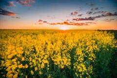 Violenza di fioritura di fioritura, seme di ravizzone, seme oleifero nel prato del campo all'Unione Sovietica Fotografia Stock
