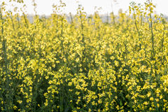 Violenza di fioritura nel campo Immagine Stock