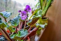 violet image stock