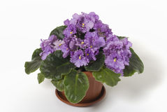 Violet. Beautyfull home flower violet isolated Royalty Free Stock Photo