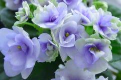 violet Images libres de droits