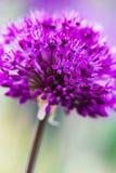 violet abstrakcyjne kwiat Obraz Royalty Free