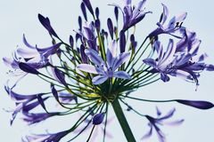 Violet African Agapanthus high key royalty free stock images