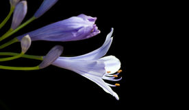Violet Agapanthus Flower on Black Background Royalty Free Stock Photography
