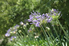 Violet Agapanthus. On a Summers Day Royalty Free Stock Images