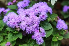 Violet ageratum royalty free stock image