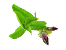 Violet Allamanda Cathartic flower and green leaf Stock Images