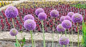 Violet Allium fiorisce, fiore della palla, genere di monocotyledonous Fotografia Stock
