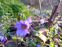 Violet anemone hepatica flower in the spring Royalty Free Stock Photos