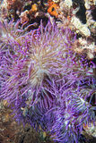 Violet anemone tentacles detail Royalty Free Stock Images