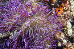 Violet anemone tentacles detail Stock Photos