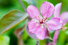 Violet apple flower over green background Stock Photo