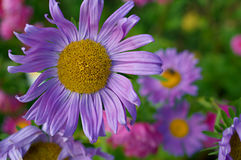 Violet aster Stock Photography