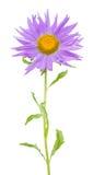 Violet aster Stock Images