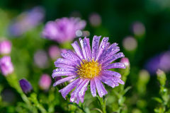 Violet aster bud covered with drops. Of morning dew Stock Photo