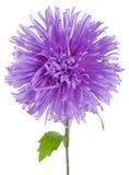 Violet Aster Flower Royalty Free Stock Images