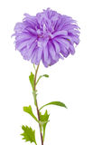 Violet aster flower Royalty Free Stock Images