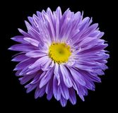 Violet Aster flower on the black isolated background with clipping path. Flower for design, texture,  postcard, wrapper.  Closeup. Royalty Free Stock Images