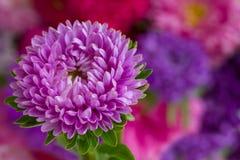 Violet aster flower. Fresh violet aster flower on bokeh background Stock Photos