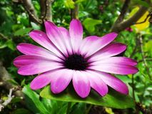 Violet aster flower Royalty Free Stock Photos