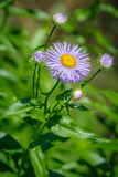 Violet Aster flower growing in the garden Royalty Free Stock Images